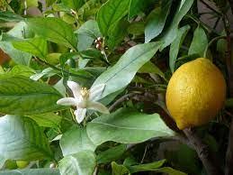 Amazing Health Benefits of Lemon Leaves